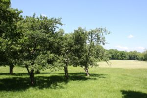 Some of the old apple trees on the property