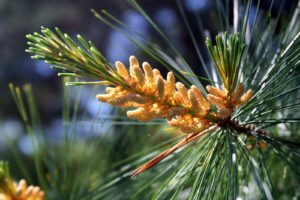 The white pine trees had so much pollen this spring.  Pollen is generated from small, clustered, staminate cones at branch tips.