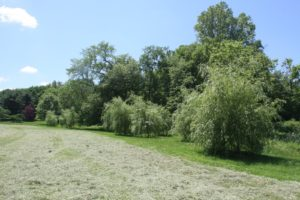 Another hayfield drying next to a weeping willow grove