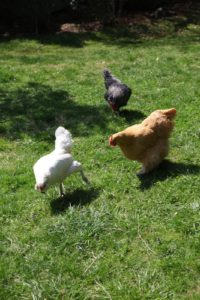Chickens roam free range style at Rainbeau Ridge.