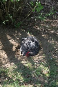 This hen is keeping cool in the hole she dug.