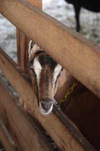 This goat is finding relief from the sun inside the barn.