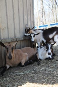 The goats are also very communal.