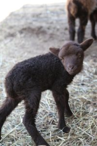 A brand new sweet little lamb.