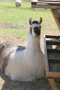 A very regal llama - llama's fleece is also used for fiber.