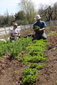 Isaac and Sara, a garden intern, are picking carrots planted last autumn.