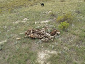 The skeleton of a bison - a recent death - the bones were picked clean by coyotes and vultures - there is quite a food chain.