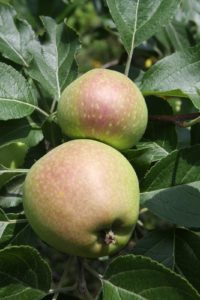 The apples are forming beautifully.