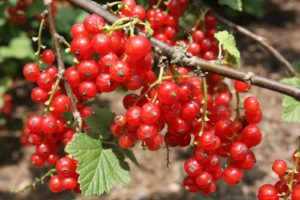 Gorgeous red currants