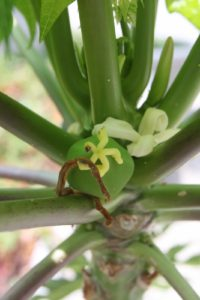 A papaya flower and a new fruit forming
