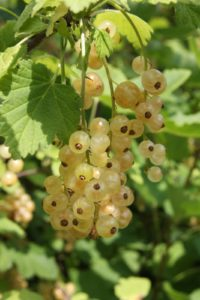 And beautiful white currants