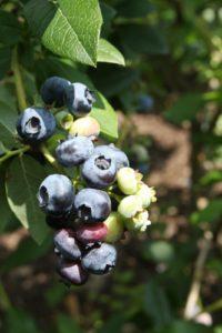 Sun-warmed blueberries - yum!!!