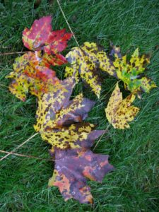 As you can see, these maple leaves are badly mottled with tar spot fungus.
