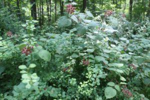 Wild raspberries growing near the folly