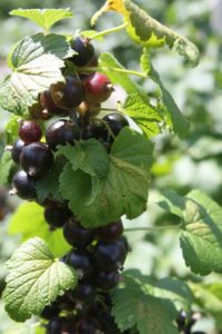 And very fragrant black currants - cassis