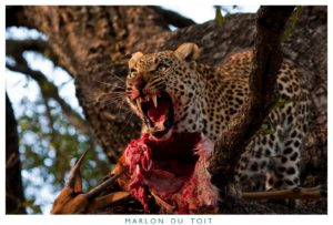 This leopard dragged an impala into the crook of a tree -   rather frightening.