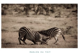 We saw many zebras, but none fooling around like this.