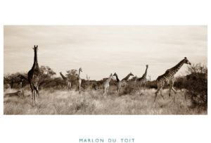 A journey of giraffes