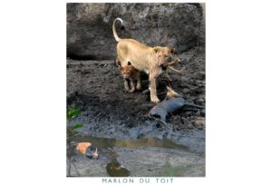 Two lions, mother and cub, with a recent kill - they seem to have driven two impalas into the muddy waters of a stream.