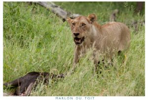 Another lioness with her kill