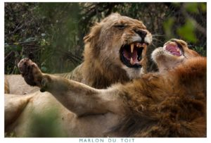 Two male lions going at it with viciousness