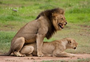 This male lion is very busy with his new girlfriend.  She appears quite submissive.