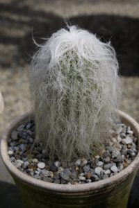 An old hairy man cactus