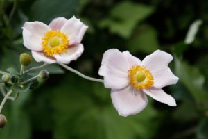 The Japanese anemones are so beautiful right now.