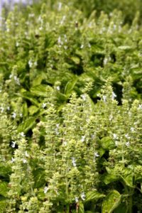 If you look closely, the basil flowers are covered with honey bees - should be delicious honey this year.