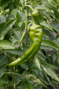 An Italian style pepper