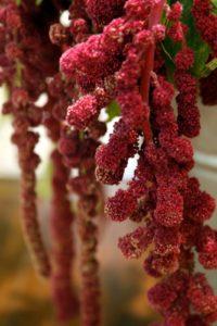 This tassel flower is called love-lies-bleeding - it's terrific in arrangements.