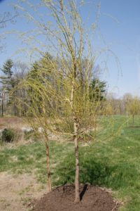 These are the same willows newly planted in the spring of 2008.  They grow very fast!
