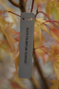 Aptly named Acer palmatum 'Sunrise'