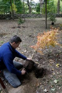Removing the tree from the pot, Shaun uses his garden knife to scarify the root ball.