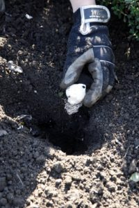 Setting the bulb in the hole, root-side down