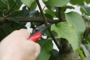 A pair of good, sharp secateurs is required to make a clean cut.