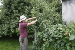 Here is Shaun deciding which branches to snip.