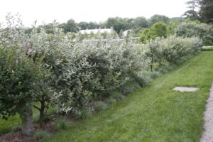 In early July, the grove of espalier apple trees needed a good pruning.