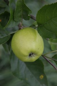 A nicely formed apple