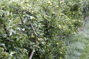 Removing the excess growth also helps to expose the ripening fruit to the sun.
