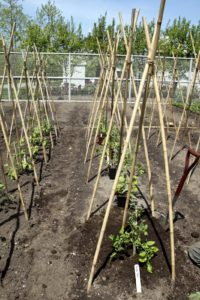The tomato plants were very healthy in the early spring.