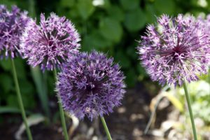 Allium are terrific additions to flower borders.