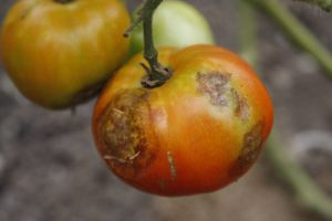 The growing and ripening process halted and rot set in.