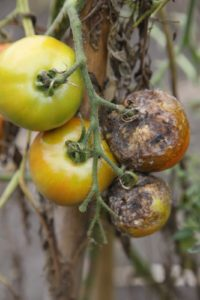 More tomatoes - gone!