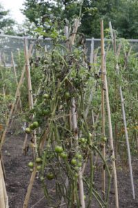 However, within a couple of weeks, it was very clear that late blight had attacked.