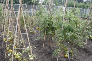 With no leaves, the tomatoes on the vine stopped growing.
