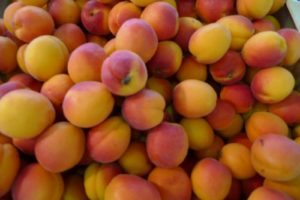 Fragrant small apricots