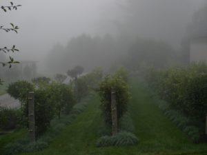 The apple espalier looks so great in the fog.
