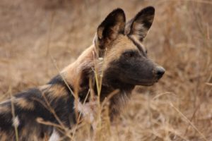 We never got a sighting of the African dog.