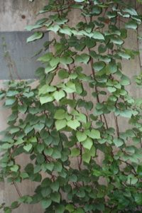 Schizophragma hydrangeoides 'Moonlight' Japanese hydrangea vine - a nice, silvery-foliage climbing vine